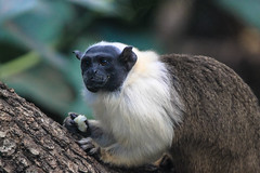 Monkey with coconut, Paris Zoo