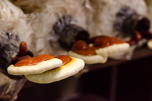 Lingzhi Mushroom (Ganoderma lucidium) at Tanjung Sepat