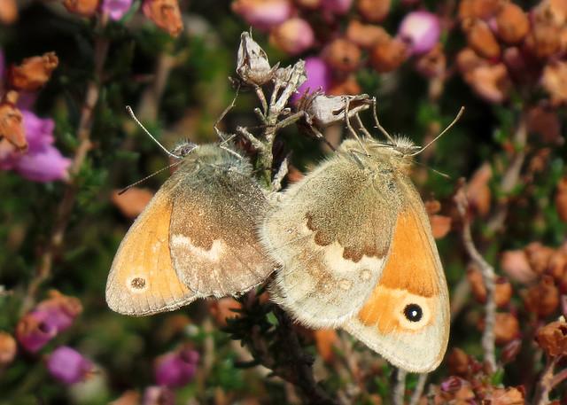 Small Heath - Coenonympha pamphilus