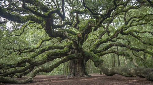 old tree green nature angel oak south carolina charelston