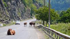 Częsty obrazek na gruzińskich drogach - krowy na środku. W górach Adjara.