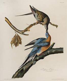 Audubon's Passenger Pigeon