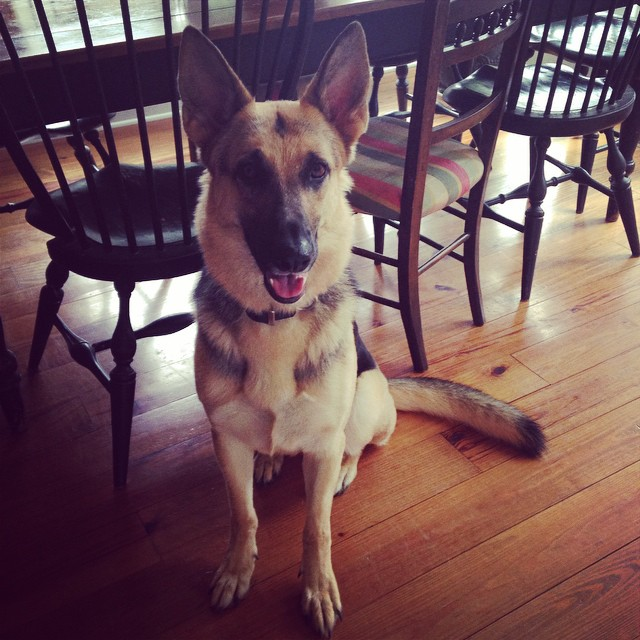 Hanging out in Davidson #germanshepherd #babygurrrrl