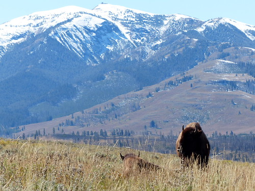 Bison and Mt. Washburn