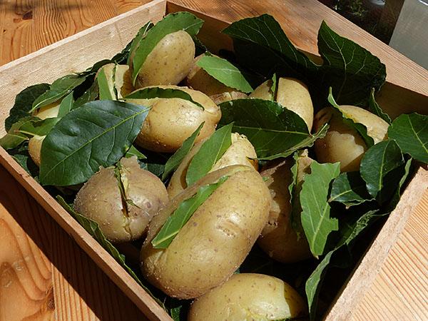 pommes de terre et laurier