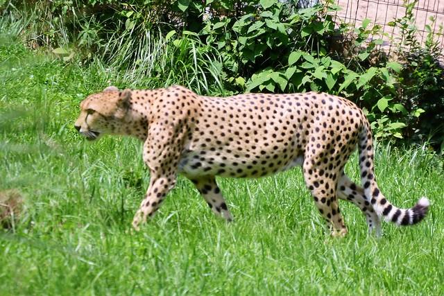 DC Cheetah