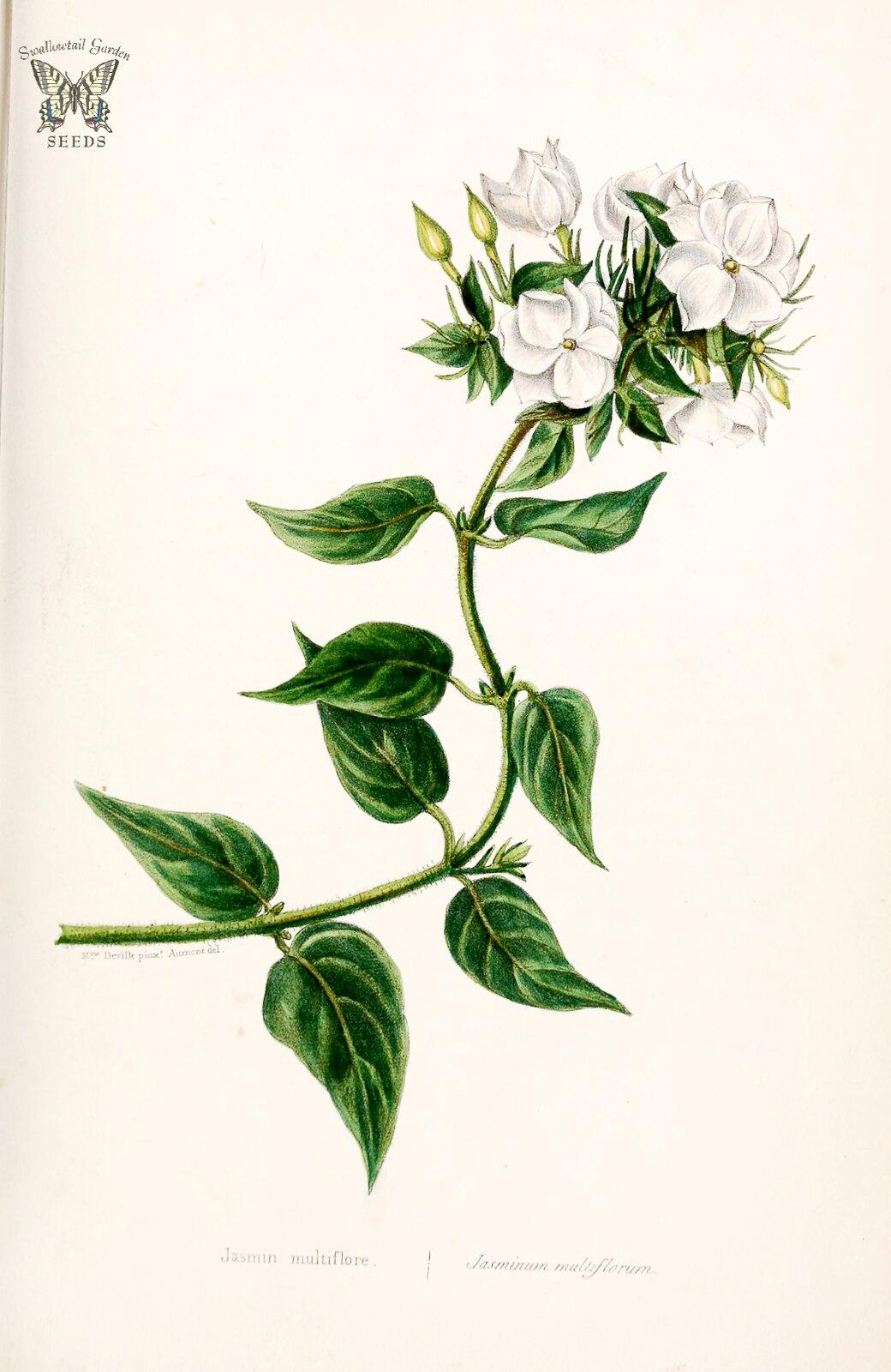 downy jasmine jasminum multiflorum intoxicatingly fragrant white flowers in evergreen vines. Black Bedroom Furniture Sets. Home Design Ideas
