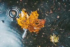 Autumn Leaf #265/365