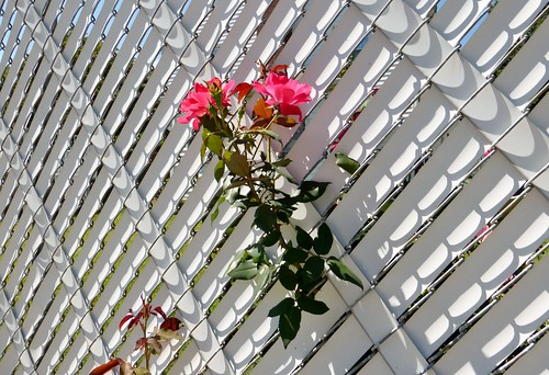 Roses through fence