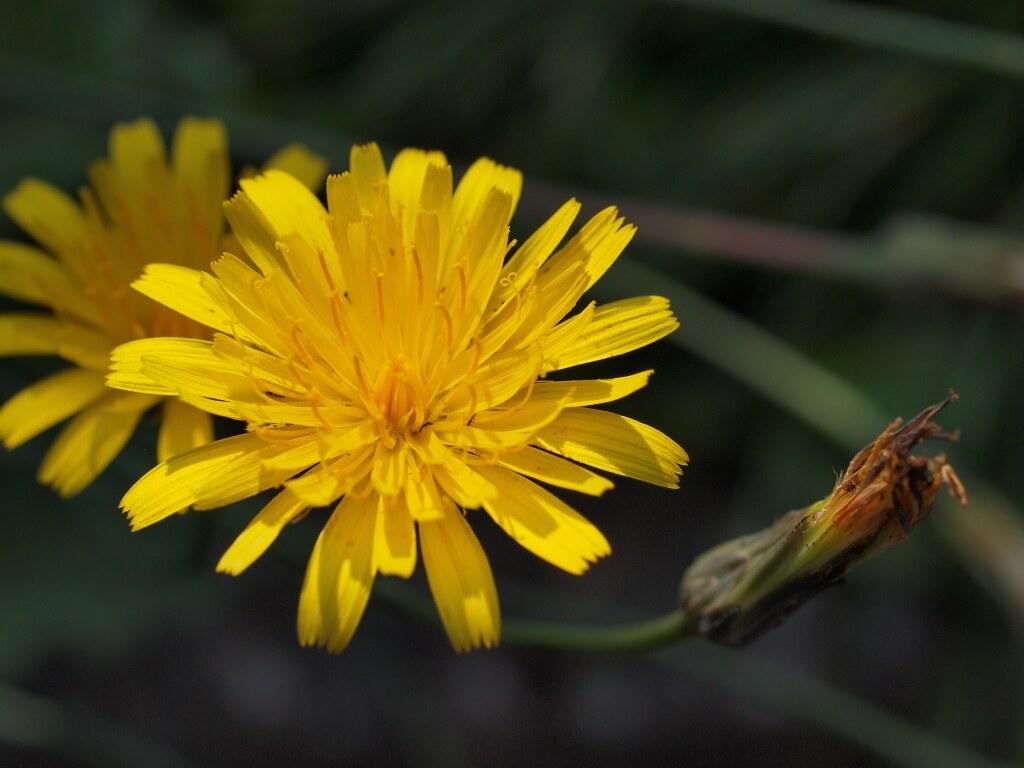 Wiesen-Pippau in unserem Garten