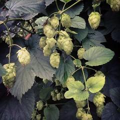 berry(0.0), flower(0.0), tree(0.0), grape leaves(0.0), annual plant(1.0), shrub(1.0), leaf(1.0), plant(1.0), produce(1.0), food(1.0), humulus lupulus(1.0),
