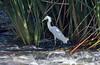 Snowy Egret, Tres Rios