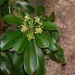 Alstonia scholaris leaf and flower