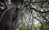Treaty Oak in Austin TX