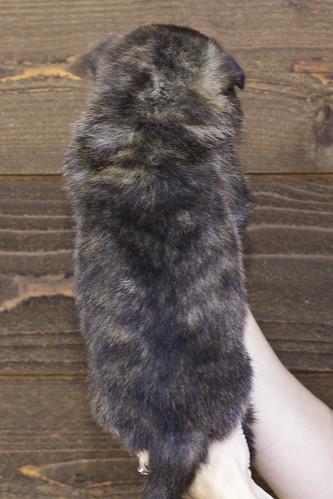 Nori-Litter2-30Days-Puppy2(male)b