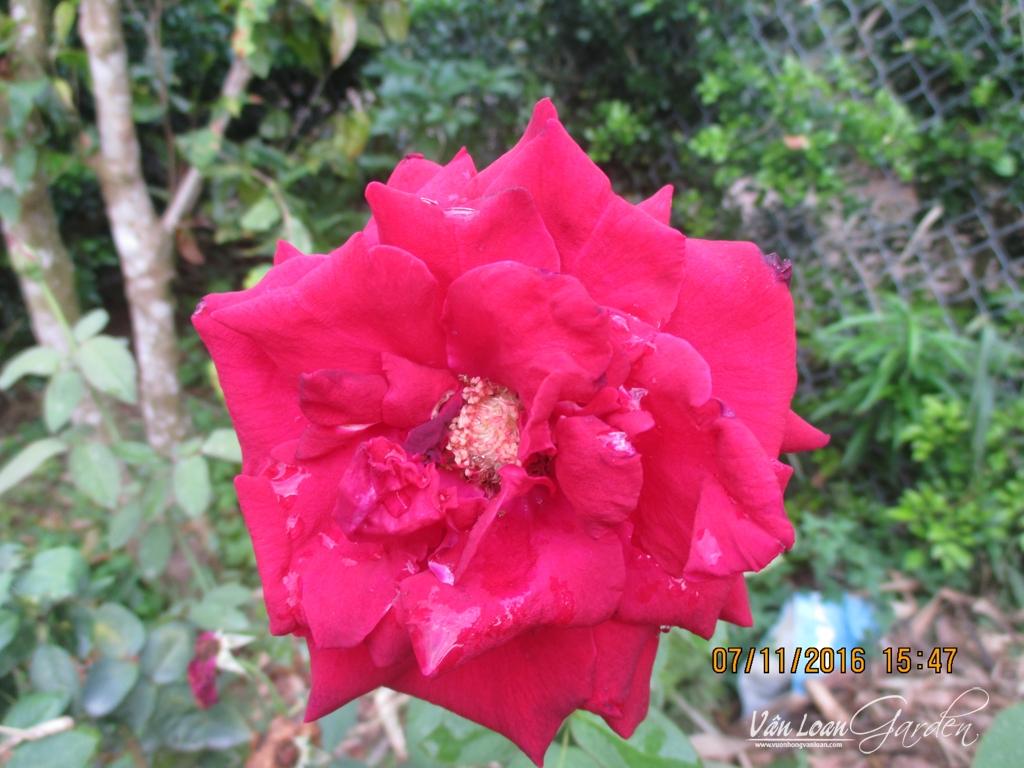 hoa hong nhung sa dec (2)-vuonhongvanloan.com