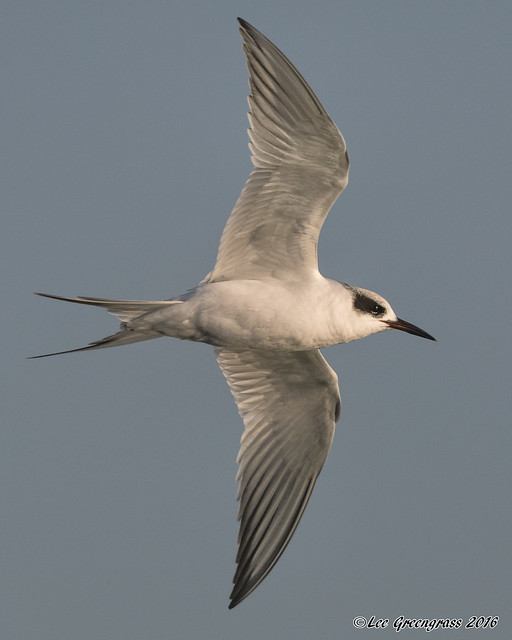 Forster's Tern, Canon EOS 5DS, Canon EF 500mm f/4L IS II USM + 1.4x