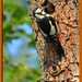 Woodpecker_MG_6299 by gladysperrier@btinternet.com