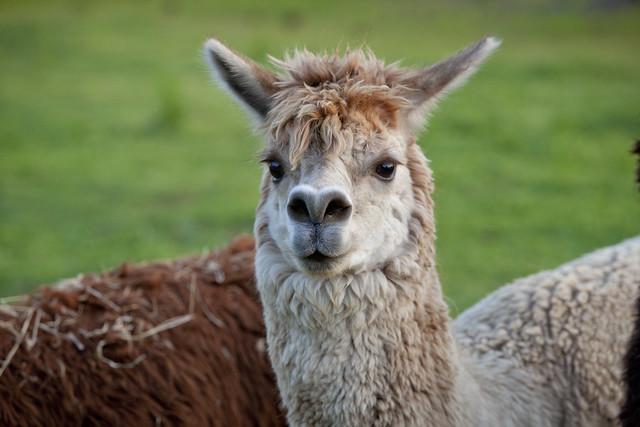 Alpaca Farms In New York Or Long Island