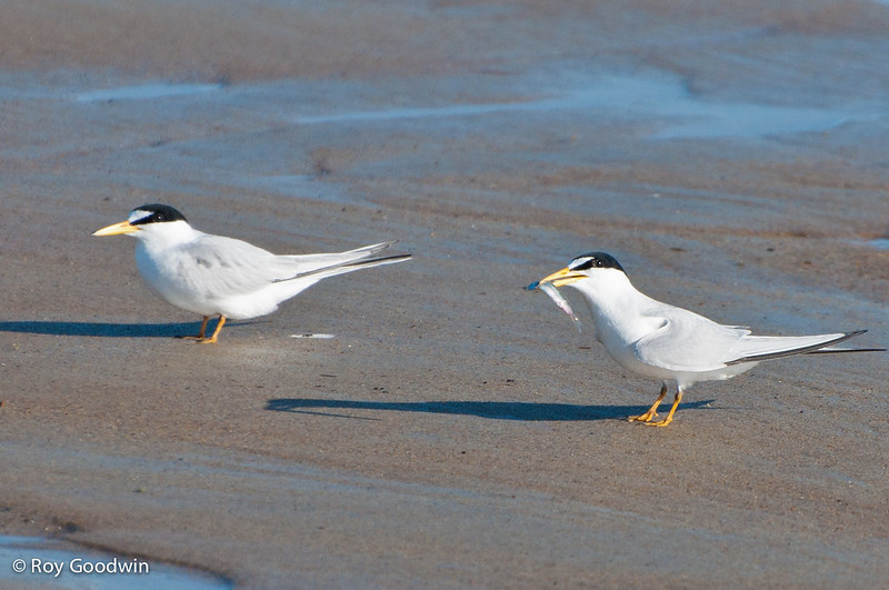 Least Tern - ground courtship