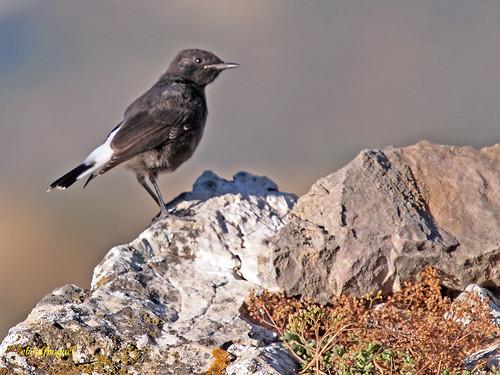 Collalba  negra  (Oenanthe leucura)