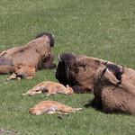 Bison calves sleeping