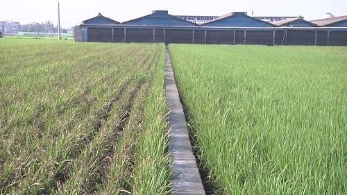 施肥太多導致稻熱病的發生