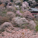 Cherry blossoms in Mt.Yoshino by mikaest.777