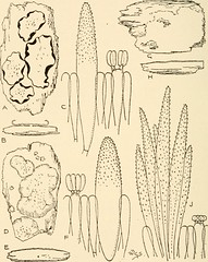 """Image from page 423 of """"Synopsis of the British Basidiomycetes ; a descriptive catalogue of the drawings and specimens in the Department of botany, British museum"""" (1908)"""