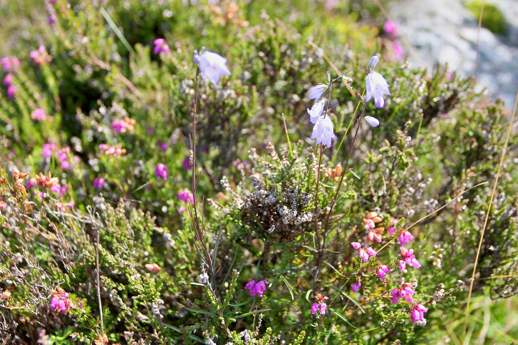 Heather and Harebells