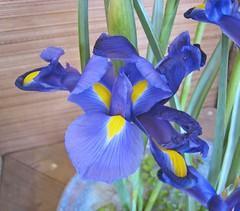 花菖蒲(玉蟬花) Iris kaempferi (Iris ensata)  [香港公園 Hong Kong Park]