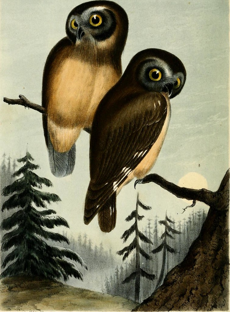 "Image from page 97 of ""Illustrations of the birds of California, Texas, Oregon, British and Russian America. : Intended to contain descriptions and figures of all North American birds not given by former American authors, and a general synopsis of North A"