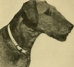 "Image from page 73 of ""The Airedale terrier standard simplified"" (1921)"