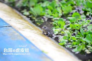 台灣虎皮蛙