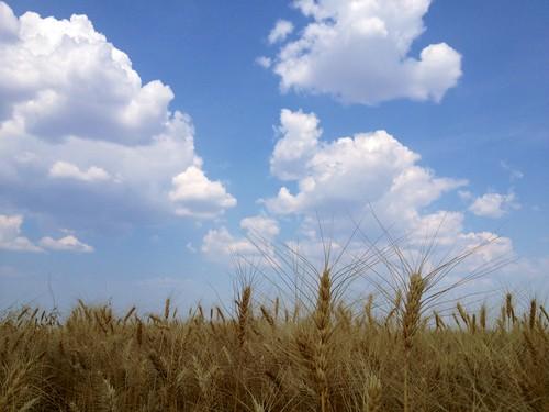 Z Crew: Wheat