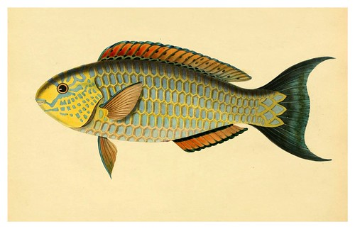 014- Scarus Pepo-A selection … the fishes …of Ceylon-1834 John B. Whitchurch
