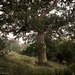 Oak on a slope