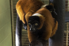 animal, zoo, mammal, fauna, lemur, new world monkey,
