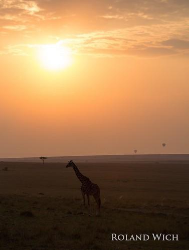 africa morning sunrise kenya safari mara afrika giraffe kenia masai