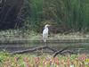 P2330928.jpg Great Egret (Ardea alba)