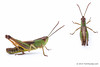 Grasshopper_spp_green.jpg