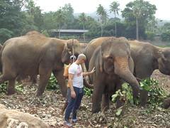 cattle-like mammal(0.0), adventure(0.0), zoo(0.0), safari(0.0), wildlife(0.0), animal(1.0), indian elephant(1.0), elephant(1.0), elephants and mammoths(1.0), african elephant(1.0), fauna(1.0), mahout(1.0),