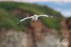 Gannet Fly Past