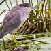 Black-Crowned Night-Heron Immature 2nds year by Ricky L. Jones Photography