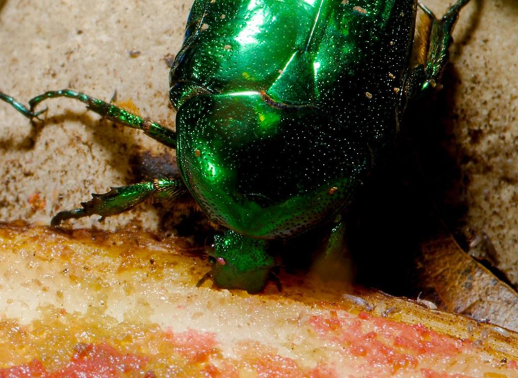 Tin Foil Beetle (Protaetia lewisi)_1_v2