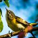 Female American Redstart II