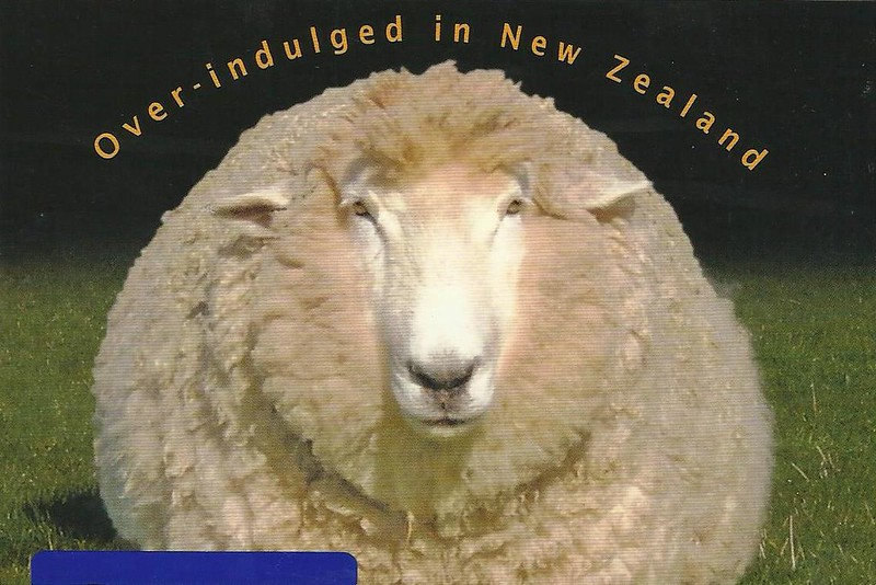 sheep new zealand postcard