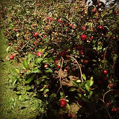 Wow...these apple trees were loaded down at the orchard yesterday.
