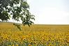 Łąka pełna słoneczników. Miejmy nadzieje, że to jeszcze nie koniec prawdziwego lata.