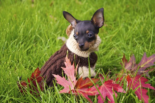 el perro Toy Terrier con un traje para cubrir el frio